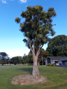 20191208_173945_new- Neuseeland - Christchurch - Hagley Park - Cabbage Tree
