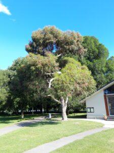 20191208_174202_new -Neuseeland - Christchurch - Hagley Park - Golfclub - Neuseeländischer Weihnachtsbaum