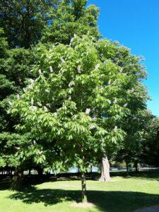 20191208_174455_new - Neuseeland - Christchurch - Hagley Park - Rosskastanie - Blüte
