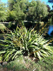 20191208_175857_new - Neuseeland - Christchurch - Botanischer Garten - Mountain Flax