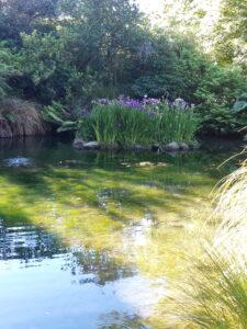 20191208_180311_new - Neuseeland - Christchurch - Botanischer Garten - Deutsche Schwertlilie-
