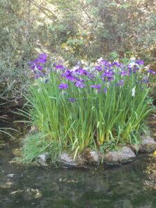 20191208_180347_new - Neuseeland - Christchurch - Botanischer Garten - Deutsche Schwertlilie