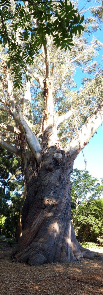 20191208_182112_new - Neuseeland - Christchurch - Botanischer Garten - Eukalyptus