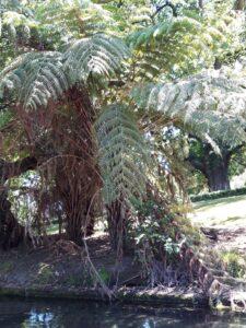 20191209_123056 - - Neuseeland - Christchurch - Botanischer Garten - Silver fern - Fluss Avon - Stocherkahn