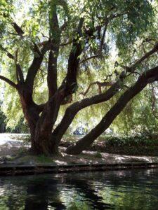 20191209_124348 - Neuseeland - Christchurch - Botanischer Garten - Echte Trauerweide - Fluss Avon - Stocherkahn