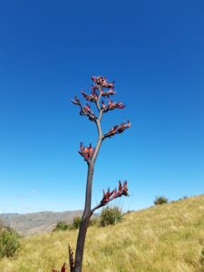 20191209_151308 - Neuseeland - Christchurch - Mt. Cavendish - Mountain Flax - Blüte
