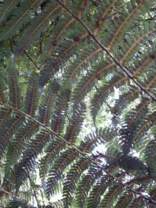 20191209_191740 - Neuseeland - Christchurch - Botanischer Garten - Silver fern
