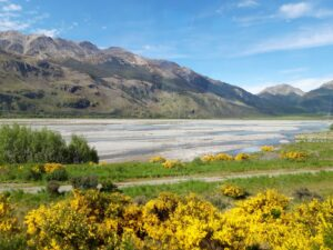 20191210_101024 - Neuseeland - TranzAlpine Bahn - Waimakariri Fluss - Kiesbett - Besenginster
