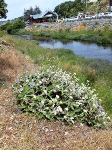20191211_140636 - Neuseeland - Kaikoura - Mountain daisy (Celmisia semicordata)