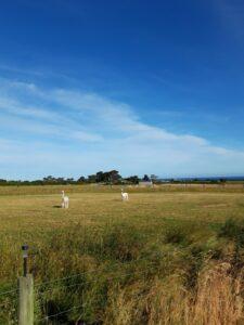 20191211_184526 - Neuseeland - Kaikoura - Wiese - Alpaka - blauer Himmel