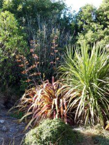 20191212_074032 - Neuseeland - Kaikouora - Mountain Flax (Phormium colensoi)