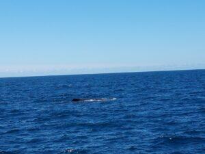 20191212_121816 - Neuseeland - Kaikoura - Potwale beobachten - Rückenflosse von Pottwal- Pazifik