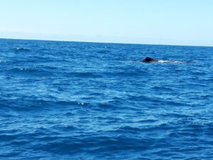 20191212_122141 - Neuseeland - Kaikoura - Potwale beobachten - Rückenflosse von Pottwal - Pazifik
