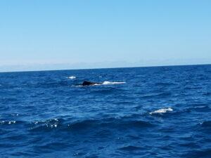 20191212_122232 - Neuseeland - Kaikoura - Potwale beobachten - Rückenflosse von Pottwal - Pazifik - brechende Welle