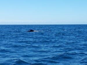 20191212_122234 - Neuseeland - Kaikoura - Potwale beobachten - Rückenflosse von Pottwal - Pazifik