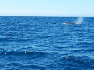 20191212_122301- Neuseeland - Kaikoura - Potwale beobachten - Nebelfontäne von Pottwal - Pazifik