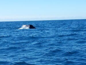 20191212_122310- Neuseeland - Kaikoura - Potwale beobachten - Schwanzflosse von Pottwal- Pazifik