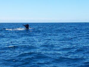 20191212_122311- Neuseeland - Kaikoura - Potwale beobachten - Rückenflosse von Pottwal- Pazifik