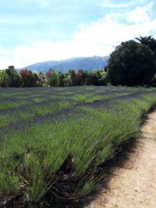 20191212_150957 - Neuseeland - Kaikoura - Lavendel farm - Lavendelfeld- Berge