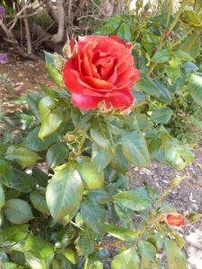 20191212_151056 - Neuseeland - Kaikoura - Lavendelfarm - Rote Rose