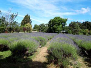 20191212_151239 - Neuselland - Kaikoura - Lavendelgarten - blühender Lavendel - Sonne