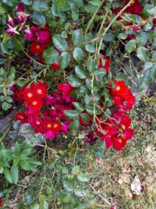 20191212_151338 - Neuseeland - Kaikoura - Lavendelfarm - rote Büschel-Rose