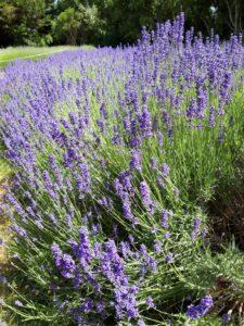 20191212_152022 - Neuseeland - Kaikoura - Lavendelfarm - blühender Lavendel