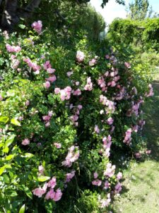 20191212_152514 - Neuseeland - Kaikoura - Lavendelfarm - zartrosa Büschel-Rose