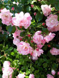 20191212_152522 - Neuseeland - Kaikoura - zartrosa Büschel-Rose