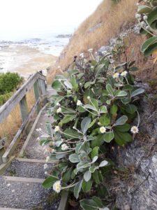 20191213_150513 - Neuseeland - Kaikoura - Pazifik - Kliff - Mountain daisy (Celmisia semicordata)