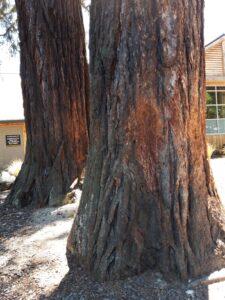 20191214_141808 - Neuseeland - Canterbury NZ - Hanmer Springs - Baumstämme - Waldkiefer (Pinus sylvestris)