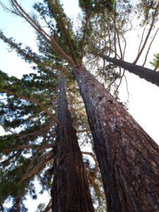 20191214_141818 - Neuseeland - Canterbury NZ - Hanmer Springs - Baumstämme - Waldkiefer (Pinus sylvestris)
