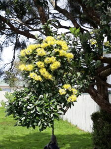 20191217_143434- Neuseeland - Westcoast - Hokitika - Neuseeländischer Weihnachtsbaum - New-Zealand Christmas tree - Pohutukawa tree, Metrosideros excelsa) - Cultivar