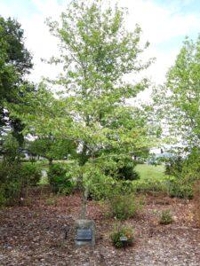 20191219_110859 - Neuseeland - Canterbury - Timaru - Botanischer Garten - Pagoden-Hartriegel (Cornus controversa) gepflanzt worden anlässig des Bestehe Städtepartnerschaft - Weihai (China)