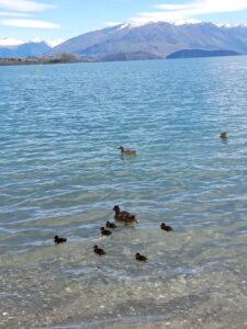 20191221_124153 - Neuseeland- Otago - Wanaka - Schimmende Ente mit Küken - Lake Wakana See