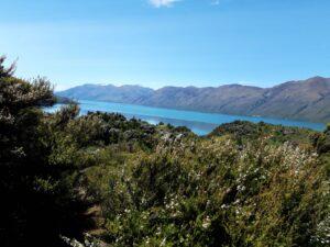 20191221_145203 - Neuseeland - Otago - Wanaka - Wanaka See - Mou Waho Insel - Manuka (Leptospermum scoparium)