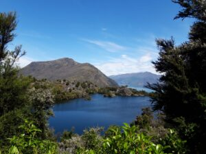 20191221_152802 - Neuseeland - Otago - Wanaka - Wanaka See - Mou Waho Insel - Manuka (Leptospermum scoparium) - Mt. Burke