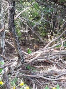 20191221_154546 - Neuseeland - Otago - Wanaka - Wanaka See - Insel Mou Waho - Wekaralle (Gallirallus australis)