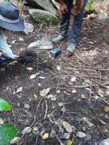 20191221_154824 - Neuseeland - Otago - Wanaka - Wanaka See - Insel Mou Waho - Lancewood (Pseudopanax crassifolius)