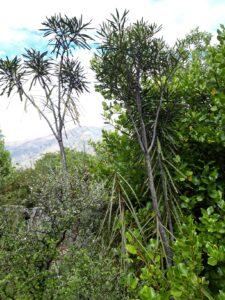 20191221_162335 - Neuseeland - Otago - Wanaka - Wanaka See - Insel Mou Waho - Lancewood (Pseudopanax crassifolius)