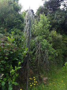 20191221_162839 - Neuseeland - Otago - Wanaka - Wanaka See - Insel Mou Waho - Lancewood (Pseudopanax crassifolius)