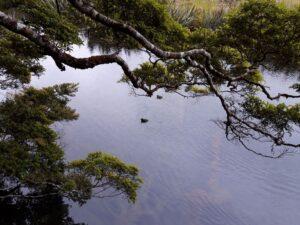 20191225_092624 - Neuseeland - Fiordland - Te Anau Downs (NZ) - Eglinton Valley Tal - Mirror Lakes Seen - Maori-Ente (Aythya novaeseelandiae)