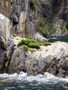 20191225_120044 - Neuseeland - Fiordland - Te Anau (NZ) - Milford Sound - Copper Point - neuseeländische Seebär (Arctocephalus foresti)