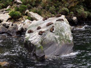 """20191225_124150 - Neuseeland - Fiordland - Te Anau (NZ) - Milford Sound - Seal Rock"""" - neuseeländischen Seebär (Arctocephalus foresteri)"""