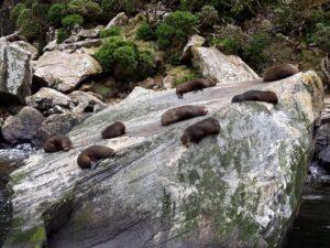 """20191225_124212 - Neuseeland - Fiordland - Te Anau (NZ) - Milford Sound - Seal Rock"""" - neuseeländischen Seebär (Arctocephalus foresteri)"""
