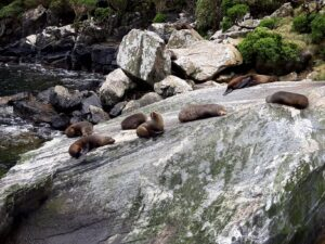 """20191225_124340 - Neuseeland - Fiordland - Te Anau (NZ) - Milford Sound - Seal Rock"""" - neuseeländischen Seebär (Arctocephalus foresteri)"""