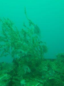 """20191225_131731 - Neuseeland - Fiordland - Te Anau (NZ) - Milford Sound - Unterwasserobservatorium - """"Underwater Observatory"""" - """"butterfly perches"""" (eine Art Wolfsbarsch, Casioperca lepidoptera)"""