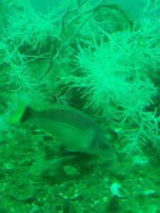 """20191225_132758 - Neuseeland - Fiordland - Te Anau (NZ) - Milford Sound - Unterwasserobservatorium - """"Underwater Observatory"""" - """"Scarlet wrasse"""" (eine Art Lippfische, Pseudolabrus miles)"""