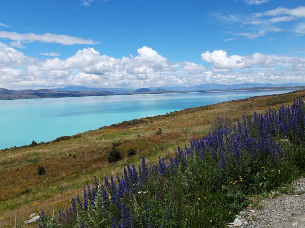 20191226_132122 - Neusland - Canterbury (NZ) - Lake Pukaki See - Gletscherstausee - proglacial lake - blauer Himmel und hellblaues Wasser - weisse Wolken - Gewöhnlicher Natternkopf (Echium vulgare)