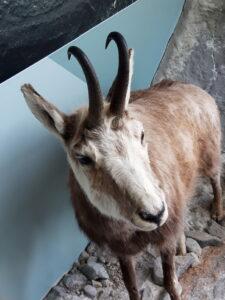 20191226_164555 - Neuseeland - Canterbury (NZ) - Mount Cook Village (NZ) - Besucherzentrum des Aoraki/Mt. Cook National Parks - Gämse (Rupicapra rupicapra) - ausgestopftes Tier